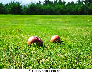 Apples in Field 2 - Close up of apples on a field on a...