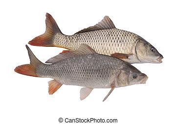 Carp fish on white Isolated