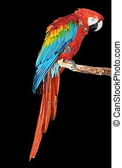 parrot - colorful parrot isolated in blask background