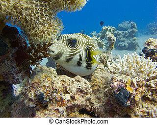 Pufferfish in the red sea