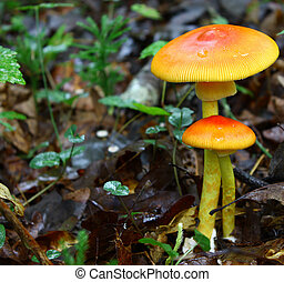 A newly emerged and growing pair of full grown Amanita Jacksonii edible mushrooms among the leafy ground cover in the woods covered with an early morning rain with room for your text.