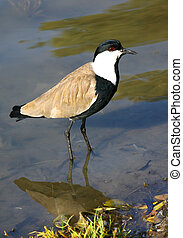lapwing standing on a pond