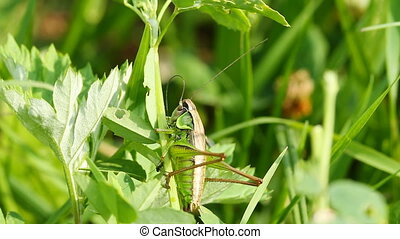 Grasshopper on blade of grass
