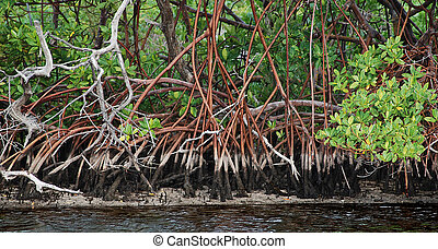 mangrove roots - Mangrove roots in water.