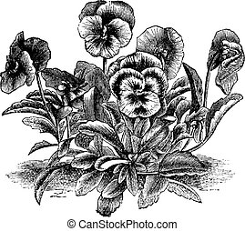 Heartsease or Viola tricolor vintage engraving - Heartsease...