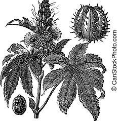 Castor oil plant or Ricinus communis vintage engraving -...