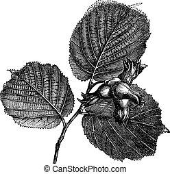 Hazel or Corylus sp., vintage engraved illustration