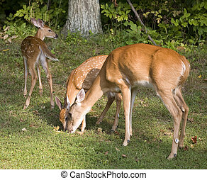 See you later - Fawn that is walking away from its doe and a...