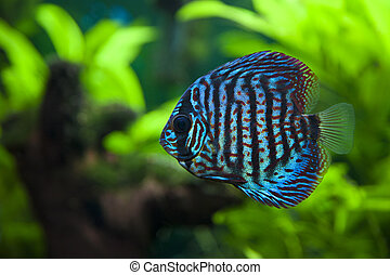 Discus Fish - A colorful close up shot of a Discus Fish