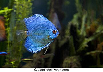 azul, diamante, disco, pez