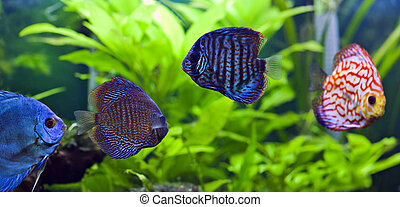 Discus fish - A group of colorful discus fish.