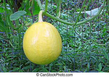 A young emerging pumpkin growing off of a wire fence among...
