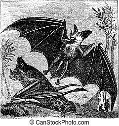 Spectral Bat or Vampyrum spectrum, vintage engraving -...