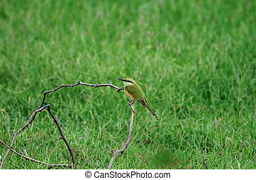 Bee Eater - A juvenile bee eater in southern india