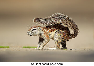 Ground squirrel Xerus inaurus, Kalahari desert, South Africa...