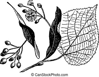 Linden leaf, flower and fruit, vintage engraving - Linden...