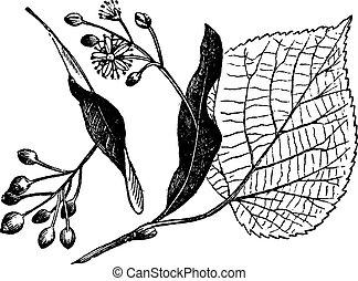 Linden leaf, flower and fruit, vintage engraving. - Linden...