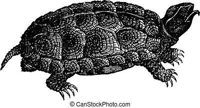 Sculpted turtle (Glyptemys insculpta) or Wood turtle,...