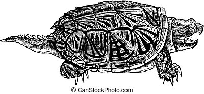 Snapping Turtle (Chelydra serpentina), vintage engraving. -...