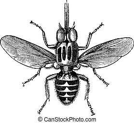Tsetse Fly or Glossina sp, vintage engraving - Tsetse Fly or...
