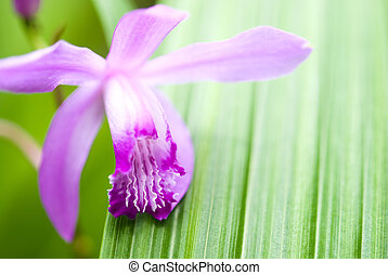 Purple orchid flowerBletilla striata Reichb fil and leaf