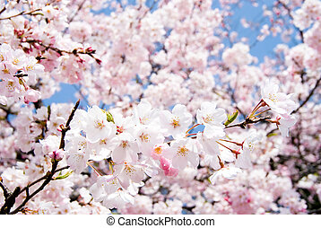 Yoshino cherry blossoms - Full blossoming Yoshino cherry...