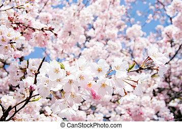 Yoshino cherry blossoms - Full blossoming Yoshino cherry...