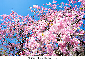 Weeping double cherry blossoms - Pink weeping double cherry...