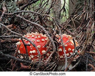 Fly agaric - Amanita muscaria, fly agaric in pine forest