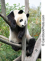 巨人, パンダ
