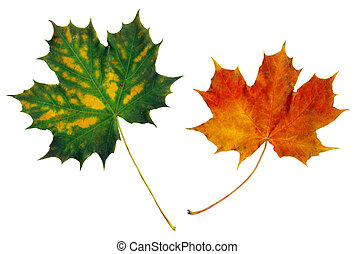 Two multicolored maple leaves