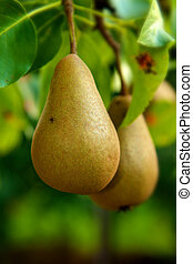 Pear hanging from a tree branch