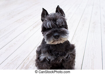 Black miniature schnauzer - Portrait of black miniature...