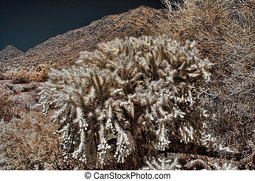 Cholla Jumpimng cactus in the Arizona desert