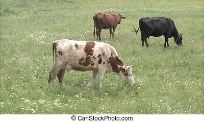 cow in the pasture 4