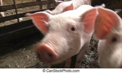 small pigs are suitable to the camera and sniffing her