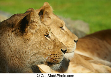 Two lions close together - Closeup portrait of two lions...