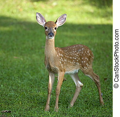 Grassy fawn - Whitetail deer fawn still in spots on a grassy...