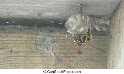 Yellow Jacket Wasp tends to Nest