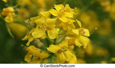 Yellow winter cress