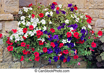 Floral display of multicoloured Petunias