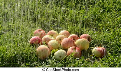 watering apples on the grass