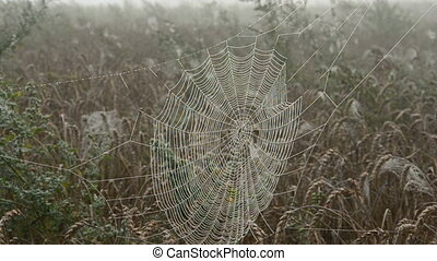 morning dewy spider-web and wind