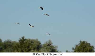 white storks in flight - summer end white storks in flight