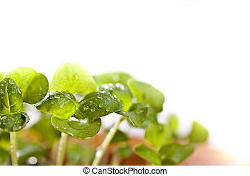Basil seedlings in the spring, macro shot