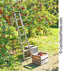 Apple Picking - A ladder and crate of apples next to an...