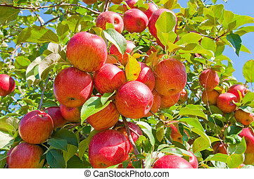 Apple Tree - Multiple Apples hanging from an Apple tree on a...