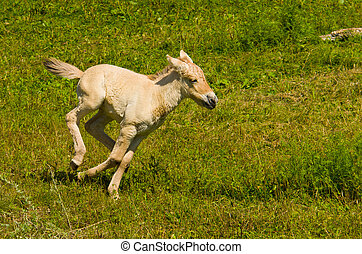Running Horse - A Young Miniature Horse Running in an Open...