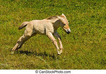 Running Horse - A Young Miniature Horse Running in an Open...