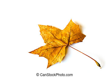 fall leaf - maple fall leaf over white background